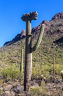 This is a crested, or cristate saguaro. This growth aberration is not fully understood.