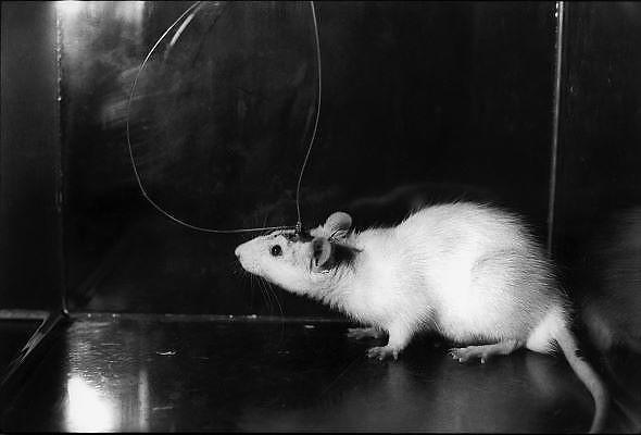 Nederland, Nijmegen, 1-6-1989<br /> Aan de medische faculteit van de katholieke universiteit Nijmegen wordt bij een rat de hersenaktiviteit gemeten. Onderzoek naar oorzaak en mogelijke bestrijding van ziekte van Parkinson. Dierproeven, dierenlaboratoriumFoto: Flip Franssen/Hollandse Hoogte