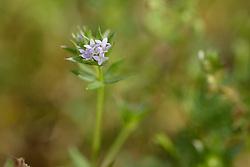 Blauw walstro, Sherardia arvensis