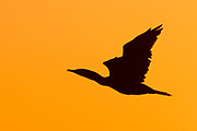 Double-Crested Cormorant in fight as silhouette at sunrise.(Phalacrocorax auritus).Bolsa Chica Wetlands,California