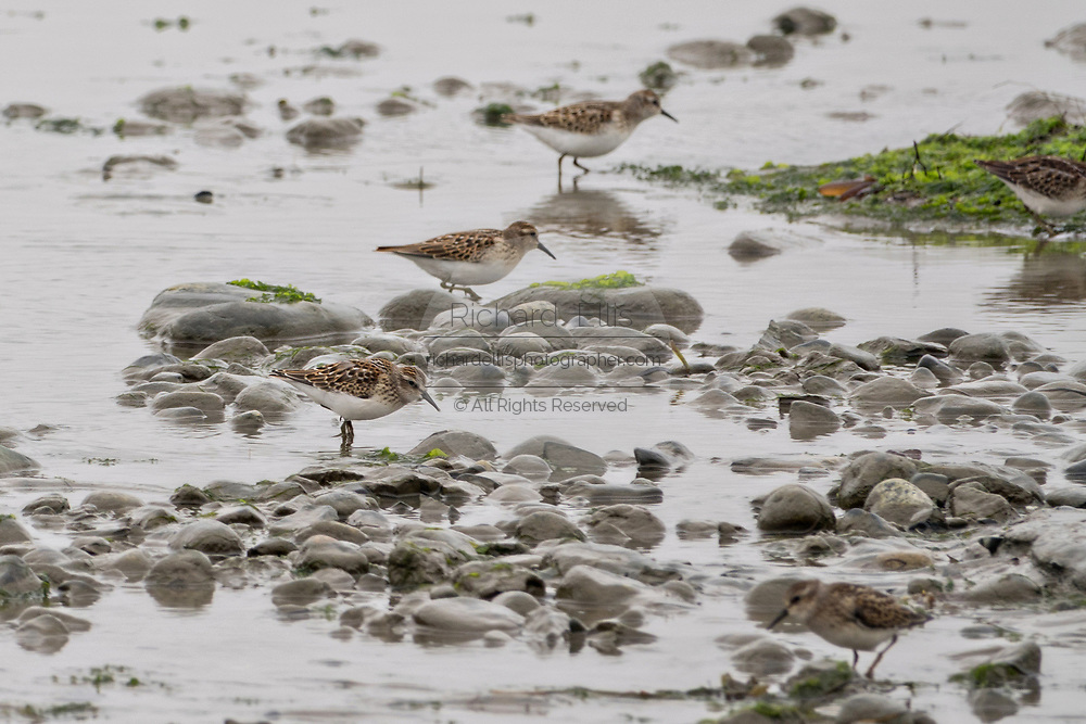 Least sandpipers feed along the beach at the McNeil River State Game Sanctuary on the Cook Inlet, Alaska. The remote site is accessed only with a special permit and is the world's largest seasonal population of brown bears in their natural environment.