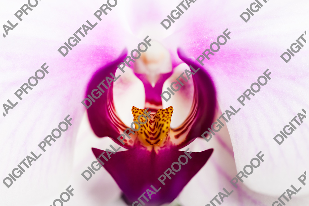 Orchid flowers in Macro with viuolet and yeloow details