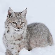 Bobcat in the Bridger Mountains of Montana. Captive Animal