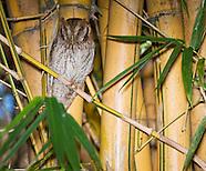 Tropical Screech Owl, Otus choliba