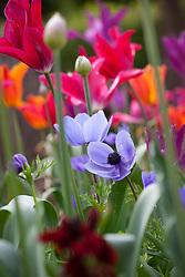Anemone coronaria 'Cristina' amongst tulips and alliums in the vegetable garden. Tulipa 'Burgundy', T.'Ballerina' and T.'Violet Bird'