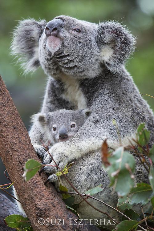 Koala <br /> Phascolarctos cinereus<br /> Mother and eight-month-old joey<br /> Queensland, Australia<br /> *Captive