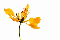 Yellow Poinciana#7