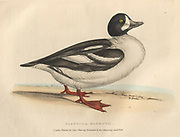 Barrows Duck (Clangula Barrovii), color plate of North American birds from Fauna boreali-americana; or, The zoology of the northern parts of British America, containing descriptions of the objects of natural history collected on the late northern land expeditions under command of Capt. Sir John Franklin by Richardson, John, Sir, 1787-1865 Published 1829