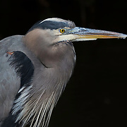 Great blue heron (Ardea herodias) exhibiting the perfect stillness that characterizes the patient and stealthy fishing style of this species. The heron is sunlit against a background of deep shade in the shallows of a mangrove swamp.