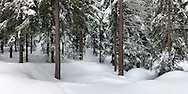 Full winter in the forest nearby Ceresole Reale, a small village in the Gran Paradiso National Park, Italy. Panorama made by stitching 7 verticals
