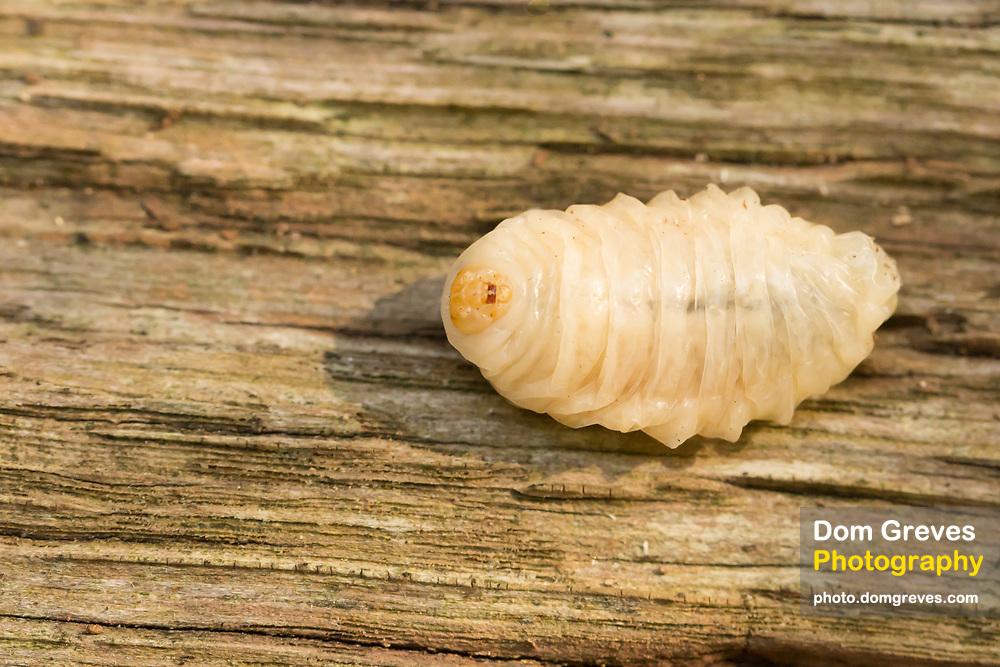 Ejected hornet larva (Vespa crabro) on woodpile. Surrey, UK.