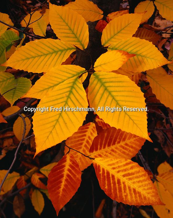 Autumn colors of American Beech, Fagus grandifolia, northern hardwood forest near Clarkston, northern Oakland County, Lower Peninsula of Michigan.