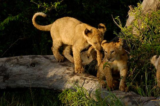 African Lion (Panthera leo) Cubs on log. Masai Mara National Park. Kenya. Africa.