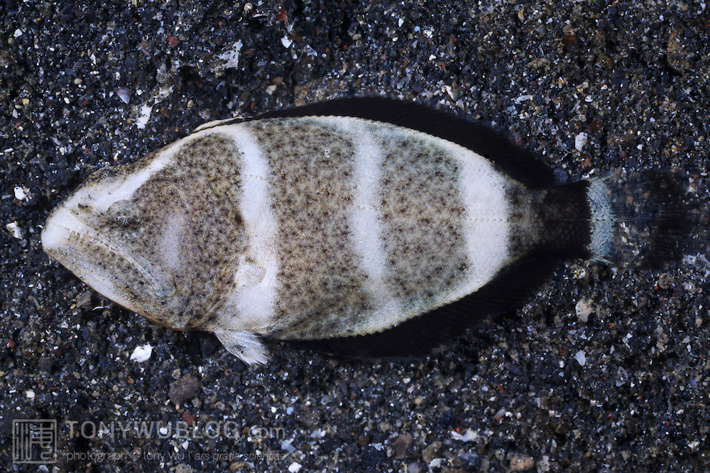 Juvenile Indian halibut (Psettodes erumei) in the Lembeh Strait, North Sulawesi, Indonesia.