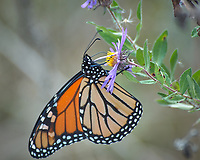 Monarch Butterfly Feeding on a Purple Wildflower. Image taken with a Nikon D2xs camera and 80-400 mm telephoto zoom lens (ISO 400, 400 mm, f/5.6, 1/90 sec).