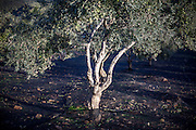 Olive trees in the mountains of the Chania district at the Greek island of Crete.