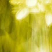 Motion blur of a daffodil.