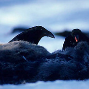 Raven-Common, (Corvus corax) Two birds feeding on carcass of whitetail deer. Young waits to feed.