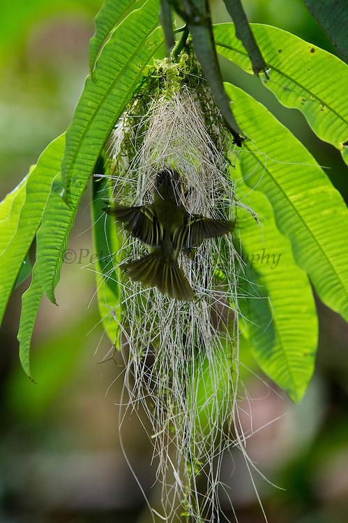 Double-banded Pygmy-Tyrant (Lophotriccus vitiosus) Nest Building<br /> Tiputini Biodiversity Station, Adjacent to  Yasuni National Park, Amazon Rainforest<br /> ECUADOR. South America<br /> HABITAT & RANGE: Subtropical or tropical moist lowland forests and subtropical or tropical swamps of Brazil, Colombia, Ecuador, French Guiana, Guyana, Peru, and Suriname.