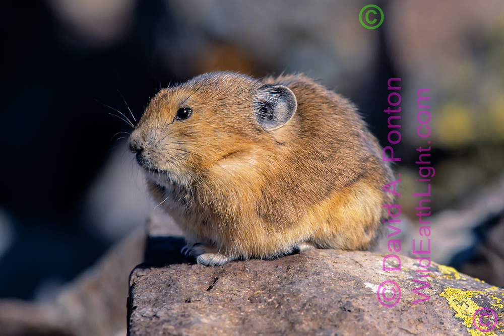 Pika on rock, its compact form adapted to the high alpine zone of the San Juan Mountains, Colorado, © David A. Ponton