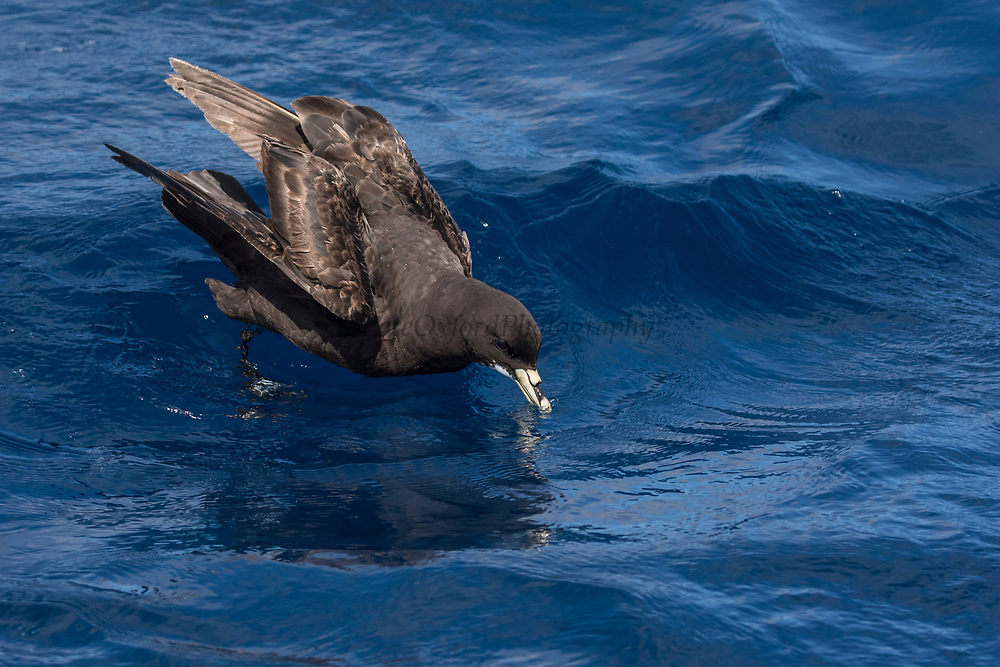 White-chinned Petrel (Procellaria aequinoctialis)<br /> South of South Africa<br /> Western Cape<br /> South Africa<br /> 60 miles south of Gansbaai