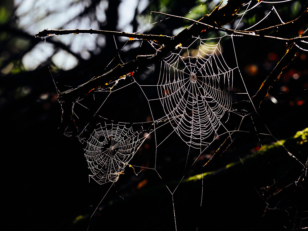 Spider web with dew drops early in the morning, Yach Elzach, Black Forest, Baden-Wuerttemberg, Germany