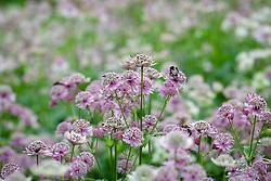 Bee on Astrantia major