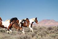 Running herd of paint mustangs, McCullough Peaks Mustangs, Cody Wyoming
