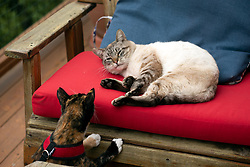 Zelda the cat keeps a close eye on Cecil the stray, who's napping on the deck of her Oakland, Calif. home, Thursday, Feb. 18, 2021. (Photo by D. Ross Cameron)
