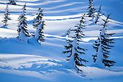 Snow glistens in the streaks of sunshine between small pine trees near Paradise in Mount Rainier National Park, Washington.