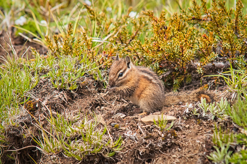 One of the most commonly encountered critters I see in the mountains, this Townsend's chipmunk was busy foraging in the meadows of Hurricane Ridge just south of Port Angeles, Washington.