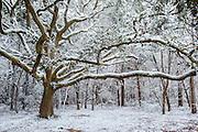 Winter storm and live oak