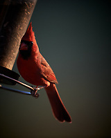 Male Northern Cardinal. Image taken with a Nikon D5 camera and 600 mm f/4 VR telephoto lens (ISO 560, 600 mm, f/4, 1/640 sec).