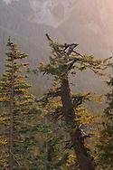 Late evening light on Firs and Cedars at Ricksecker Point, Mount Rainier National Park