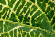 Close-up abstract of the leaf pattern of Japanese honeysuckle (Lonicera japonica 'Aureoreticulata' growing in a Norfolk garden