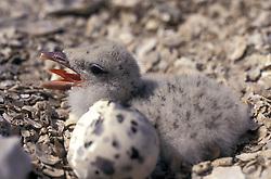Black Skimmer (Rynchops niger) chick with egg on nest.