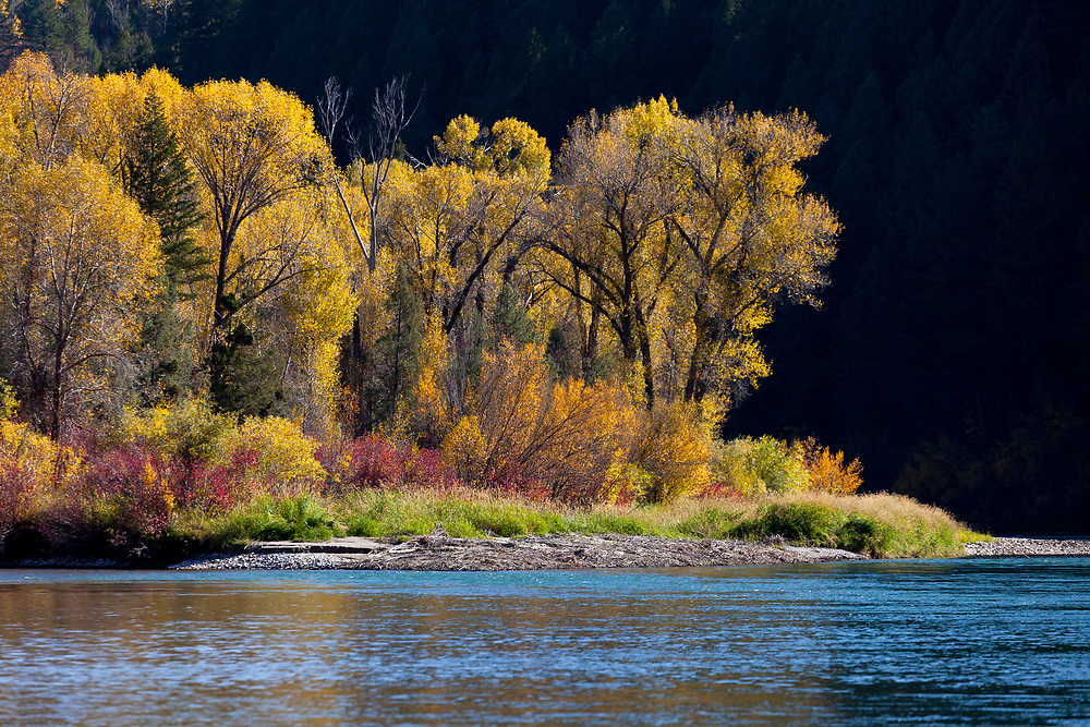 Autumn color peaks along the South Fork of the Snake River on a beautiful October day in Eastern Idaho.  Licensing and Open Edition Prints