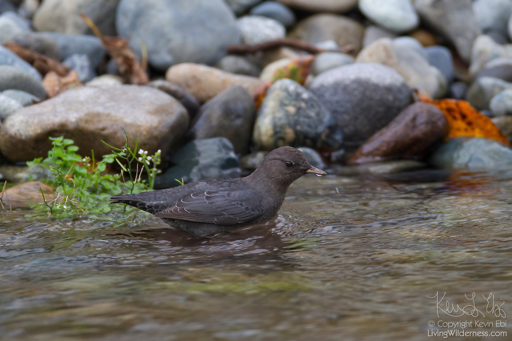 An American dipper (Cinclus mexicanus) feeds in the Cedar River near Renton, Washington. American dippers are found throughout western North America, feeding in fast-moving, rocky streams where they feed on aquatic insects and their larvae, tiny fish, and tadpoles. Dippers have an extra eyelid that allow them to see when their heads are underwater as well as scales that close their nostrils when they are submerged.