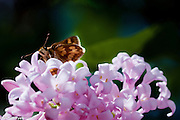 moth, insect, flower, life, nature, beauty, green, purple, blossom, spring, lilac, bloom, seed, growth, tamara kersha, tamara, kersha, cibenko, tak_sale@yahoo.com