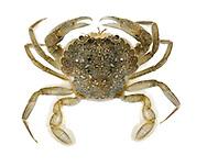 Marbled Swimming Crab - Liocarcinus marmoreus