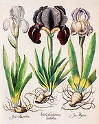 Three iris plants from Hortus Eystettensis a codex produced by Basilius Besler in 1613 of the garden of the bishop of Eichstätt in Bavaria.
