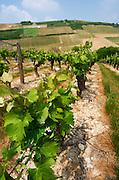 Vineyard. Vine leaf. Monts Damnes. Sauvignon Blanc. Domaine Henri Bourgeois, Chavignol, Sancerre, Loire, France