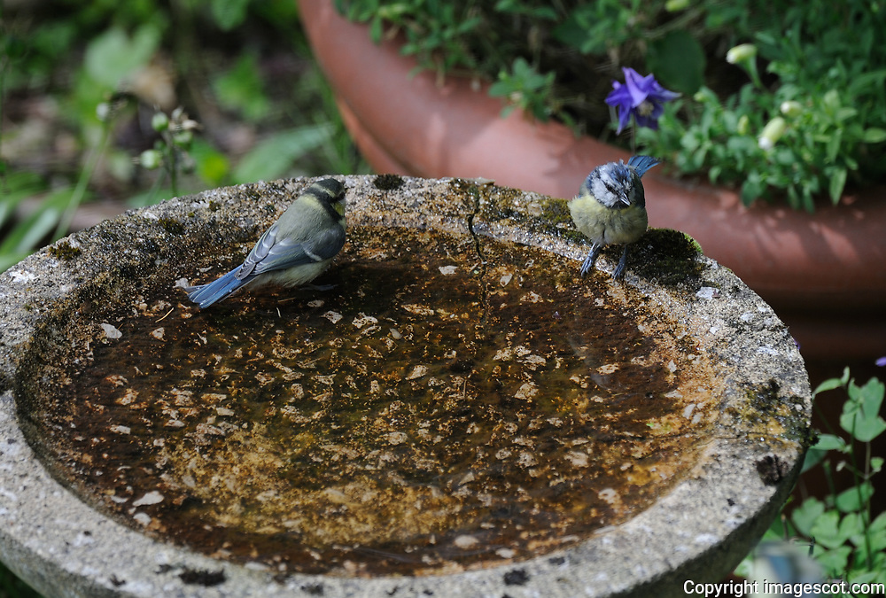 Blue tit fledglings, bird bath, wash<br /> *ADD TO CART FOR LICENSING OPTIONS*