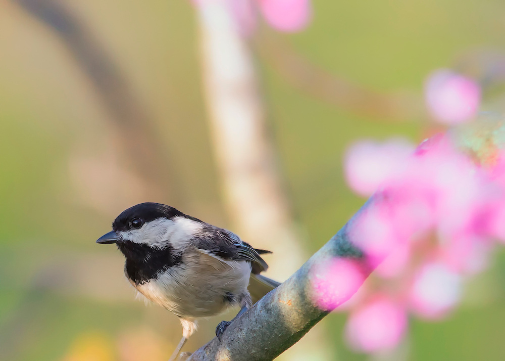 A Black-Capped Chickadee in a Spring Tree