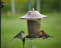 Tufted Titmouse and House Finch. Image taken with a Nikon D850 camera and 200-500 mm f/5.6 VR lens