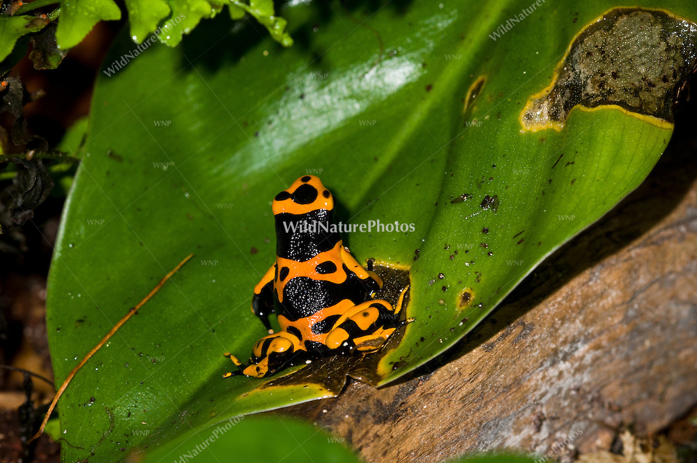 """The Orange and Black """"Bumblebee"""" Poison Dart Frog (Dendrobates leukomelas), is a color morph of the Yellow-banded Dart Frog (Dendrobates leukomelas), captive"""