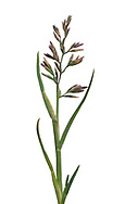 Stiff Saltmarsh Grass - Puccinellia rupestris