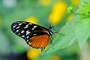 Golden Helicon Butterfly (Heliconius hecale) native to South America.