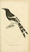 Enicurus coronatus from volume XIII (Aves) Part 2, of 'General Zoology or Systematic Natural History' by British naturalist George Shaw (1751-1813). Griffith, Mrs., engraver. Heath, Charles, 1785-1848, engraver. Stephens, James Francis, 1792-1853 Published in London in 1825 by G. Kearsley