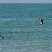 Close up of a pelican hunting in Pacific ocean, California